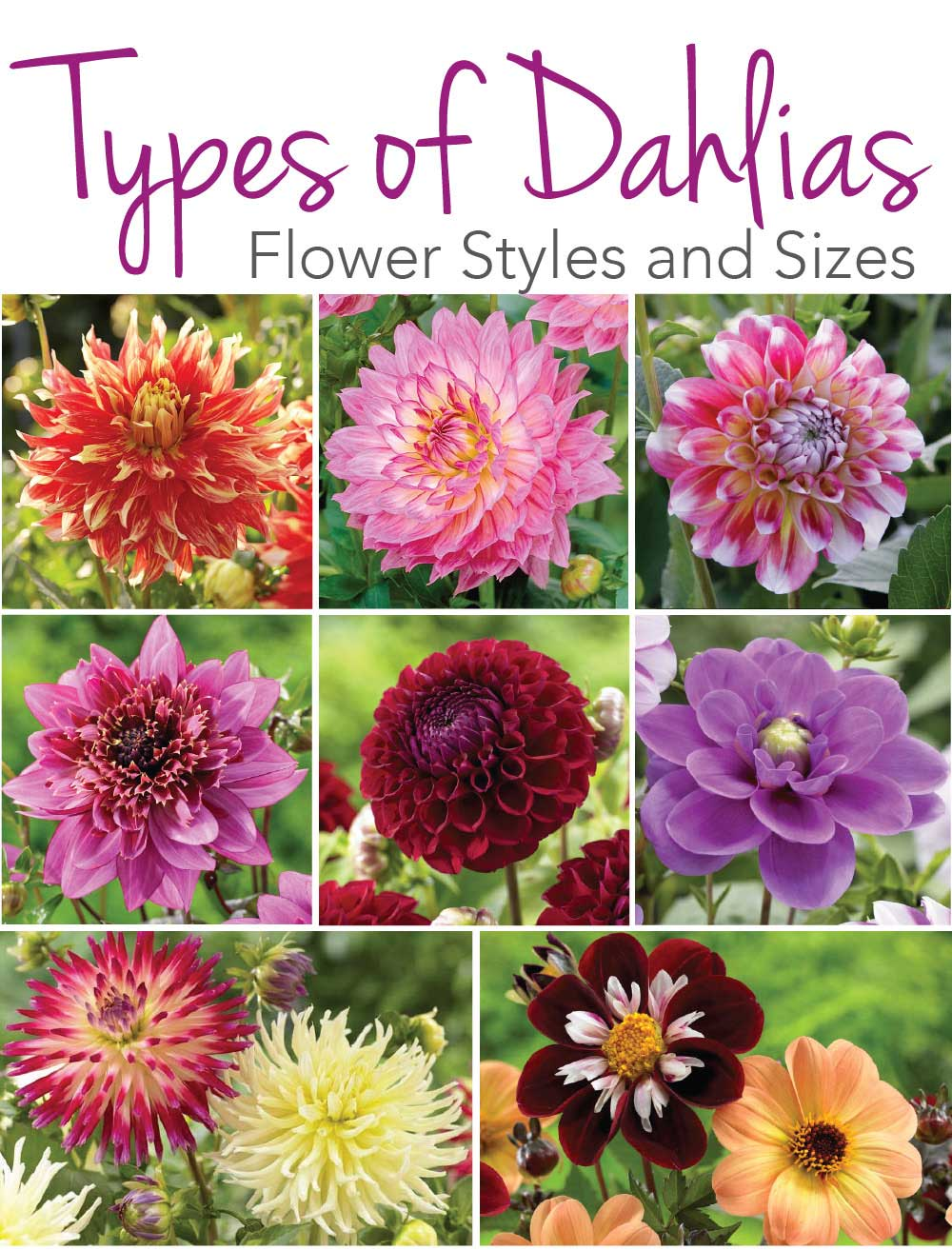 Know Your Dahlias Flower Styles and Sizes , Longfield Gardens