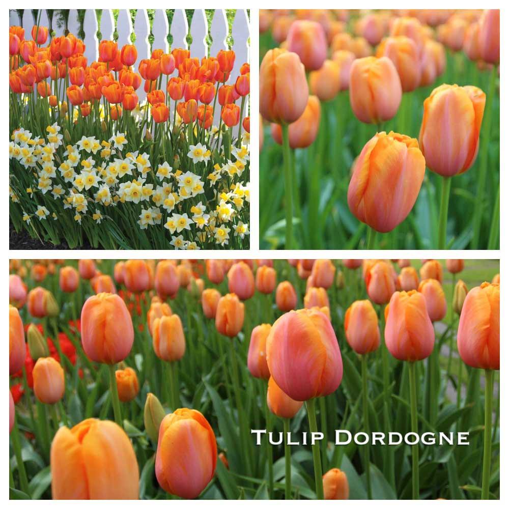 tulip-dordogne-w.jpg