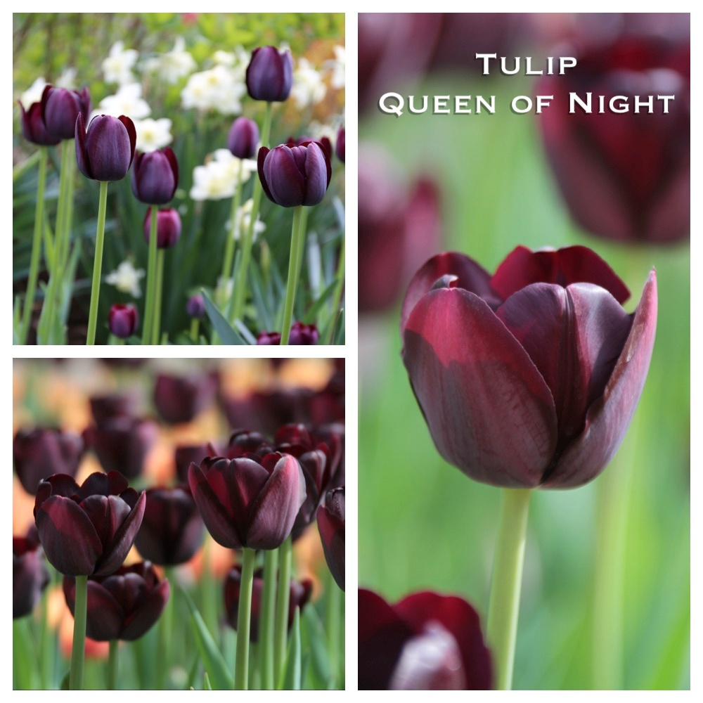 tulip_queen_of_night.jpg