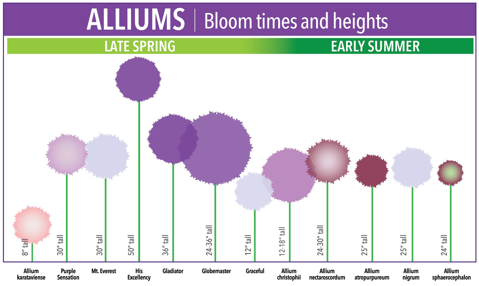 Allium Bloom Time And Size Chartg Longfield Gardens