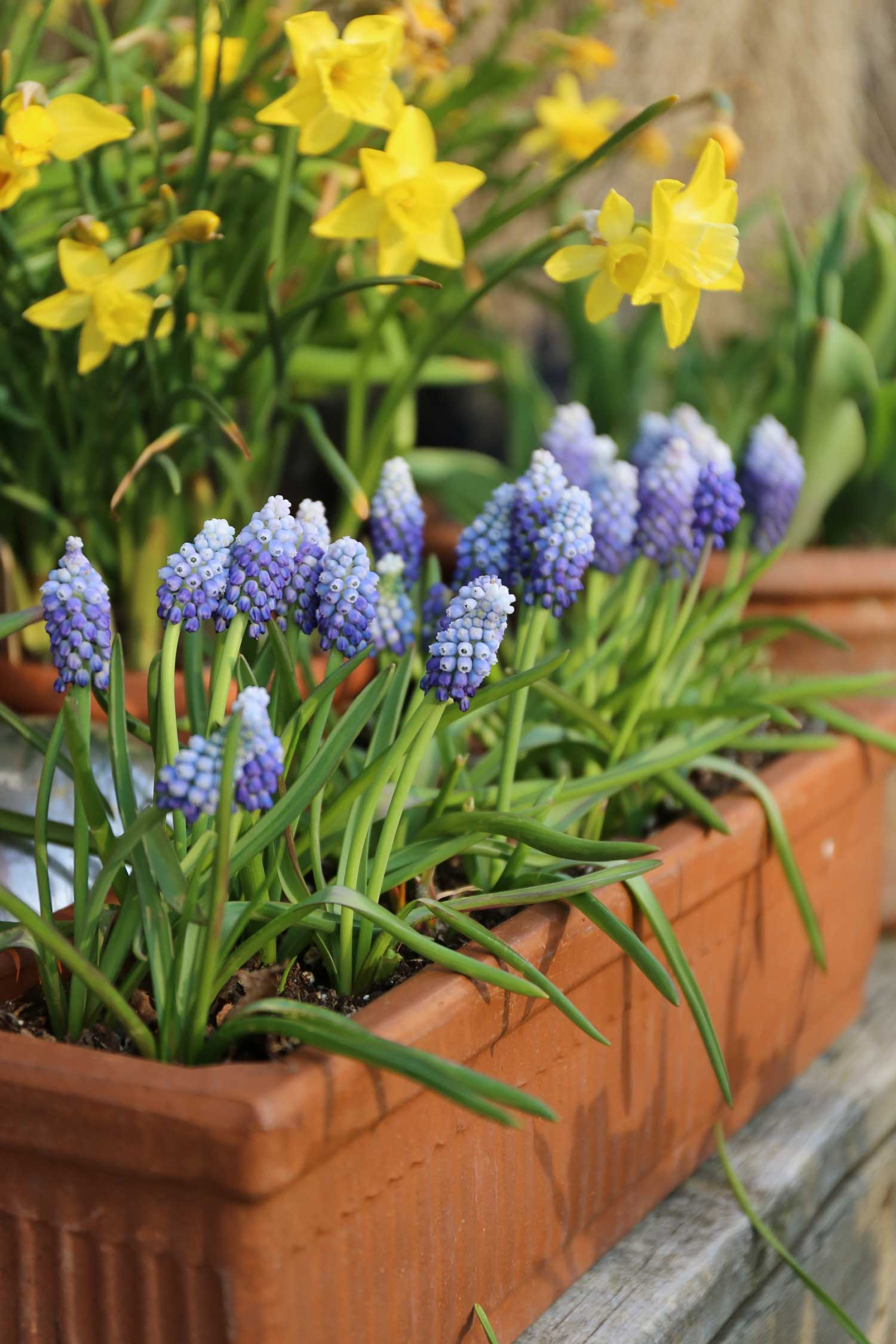Muscari-the-special-sauce-for-your-spring-garden-Longfield-Gardens
