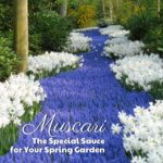 Muscari: The Special Sauce for Your Spring Garden