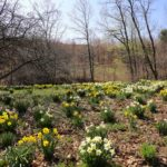 Best Daffodils for Naturalizing
