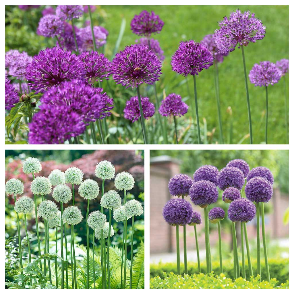 10 Bulb Garden Design Ideas: How To Use Alliums In A Naturalistic Garden Design