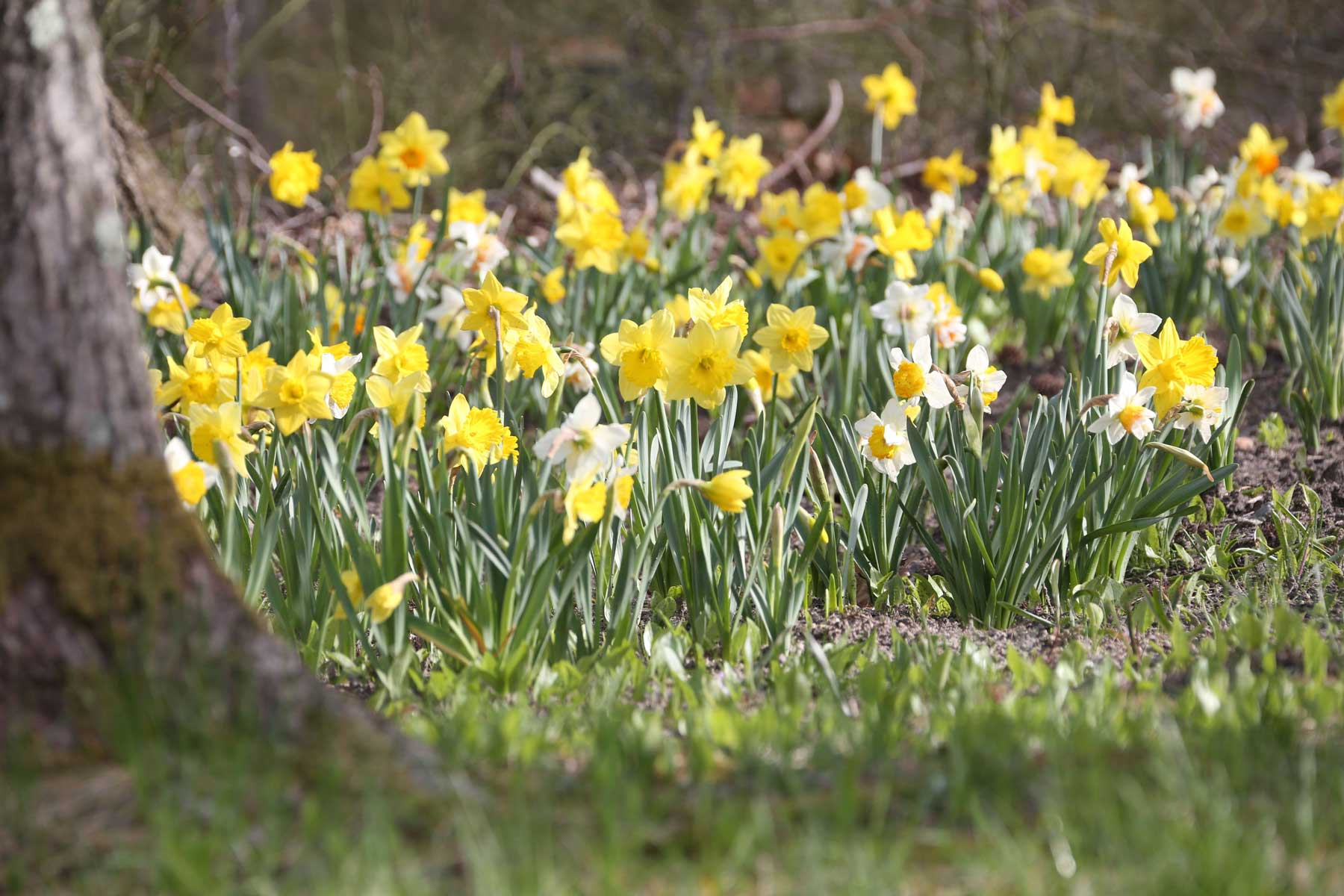 mixed-daffodils-naturalized.jpg