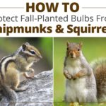 How to Protect Fall Bulbs From Chipmunks and Squirrels