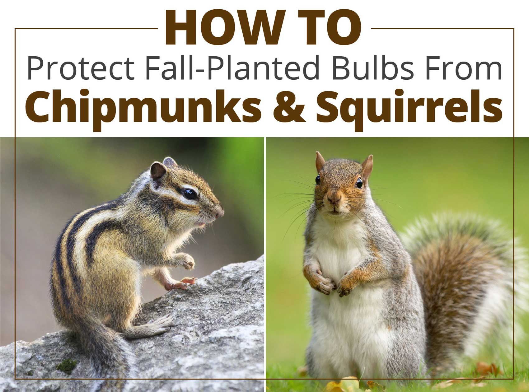 How-To-Proect-Fall-Bulbs-From-Chipmunks-and-Squirrels - Longfield-Gardens