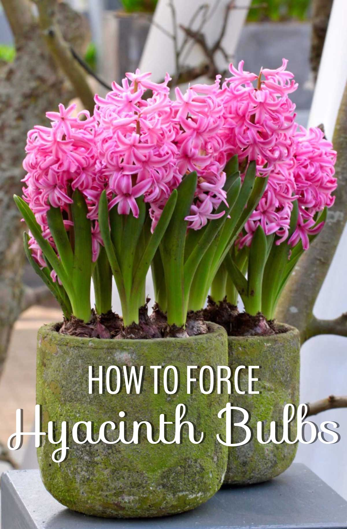 How to force hyacinth bulbs for indoor flowers longfield gardens how to force hyacinth bulbs for indoor flowers reviewsmspy