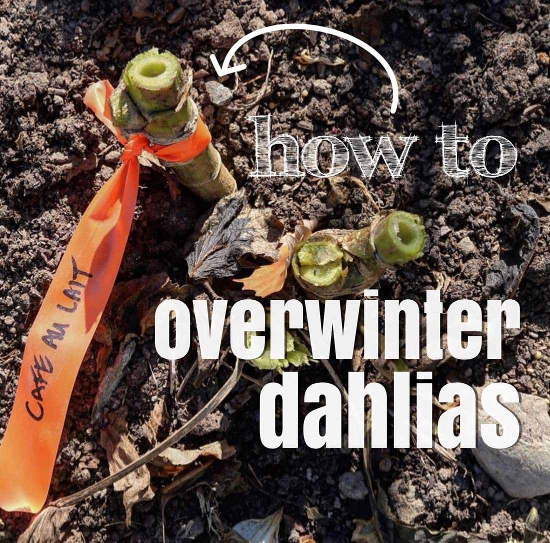 How-to-Overwinter-Dahlias-1---Longfield-Gardens.jpg