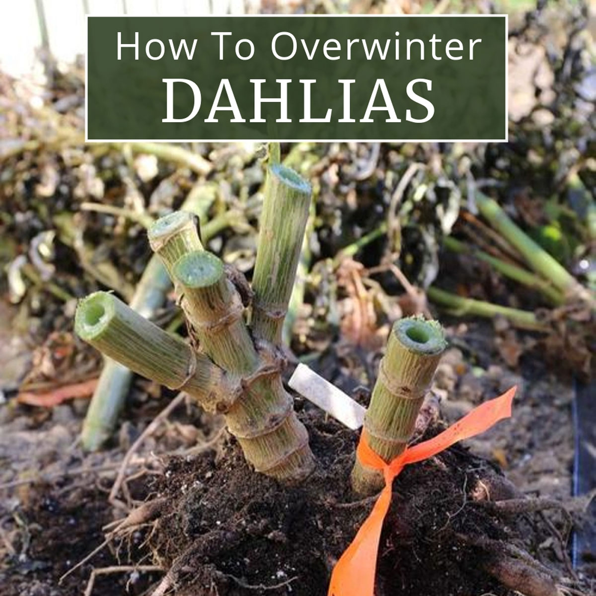 How-to-Overwinter-Dahlias-Longfield Gardens