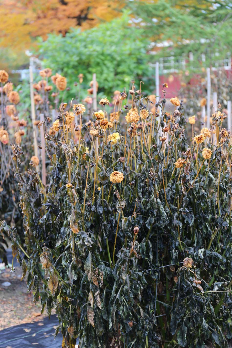 How-to-Overwinter-Dahlias -Longfield-Gardens