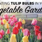 Planting Tulip Bulbs in Your Vegetable Garden