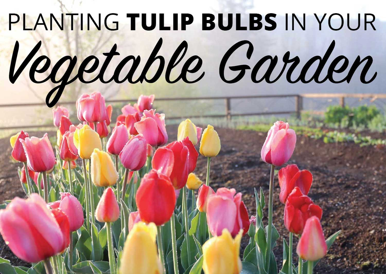 Planting-Tulip-bulbs-in-a-vegetable-garden-Longfield-Gardens-1.jpg