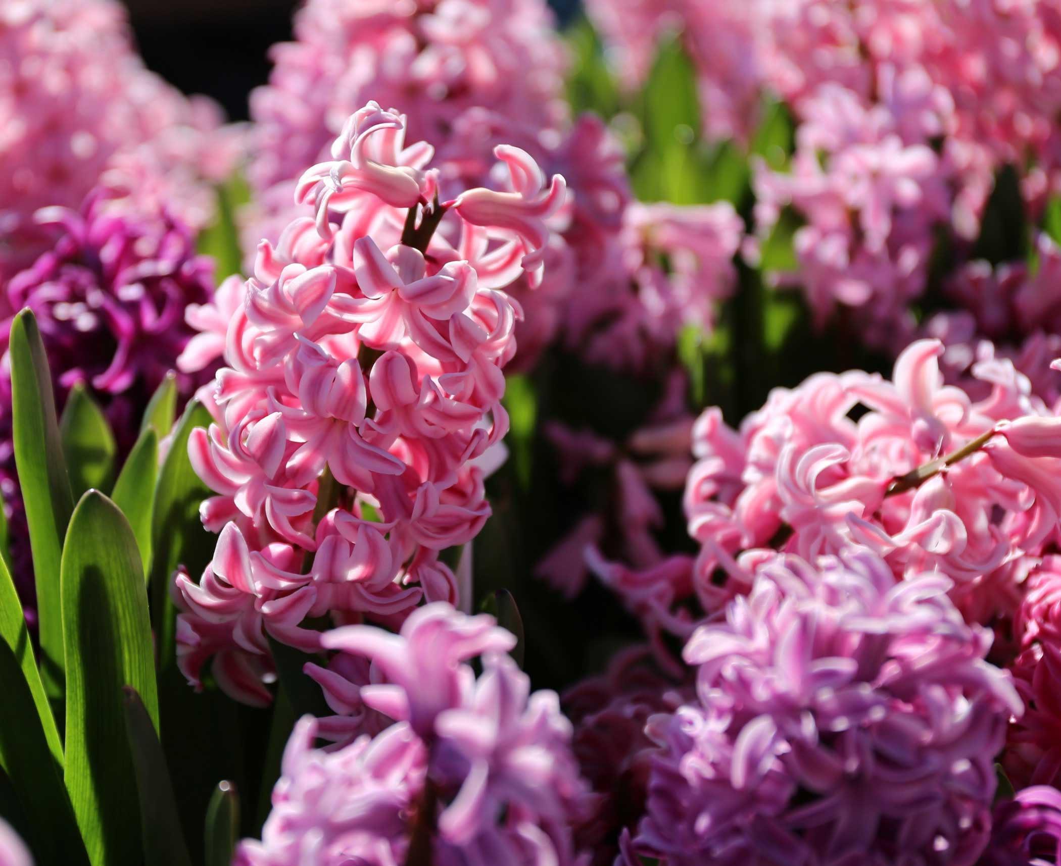 How-to-Force-Hyacinth Bulbs for Indoor Flowers - Longfield-Gardens
