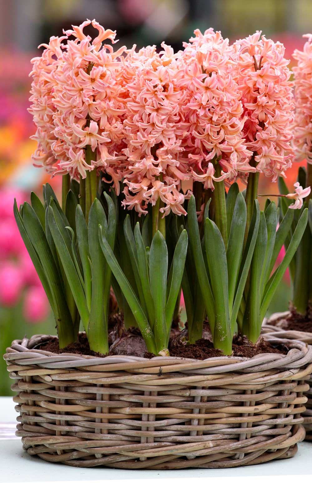 How to force hyacinth bulbs for indoor flowers longfield gardens how to force hyacinth bulbs for indoor flowers longfield gardens reviewsmspy