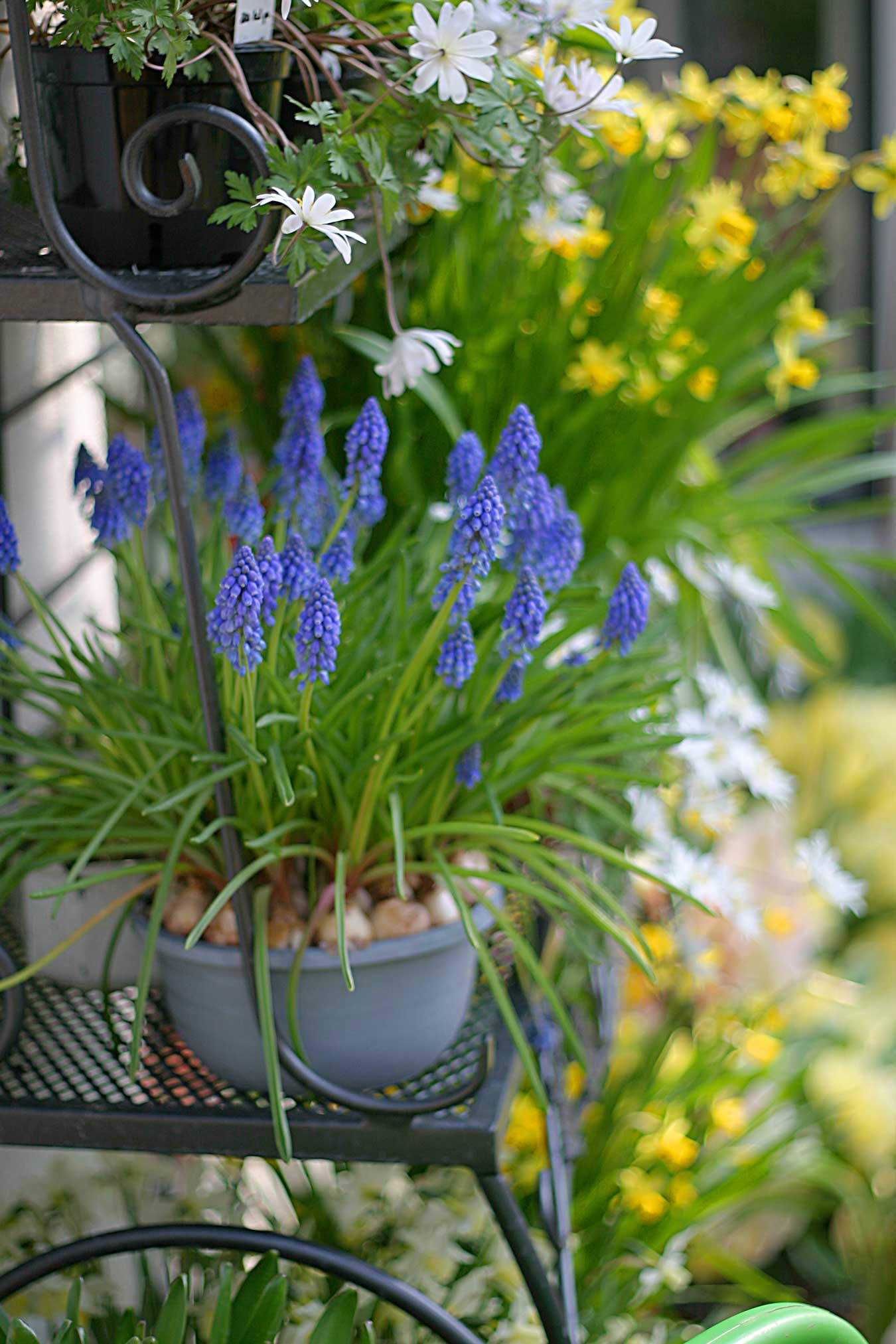 Growing Muscari in Containers - Longfield-Gardens