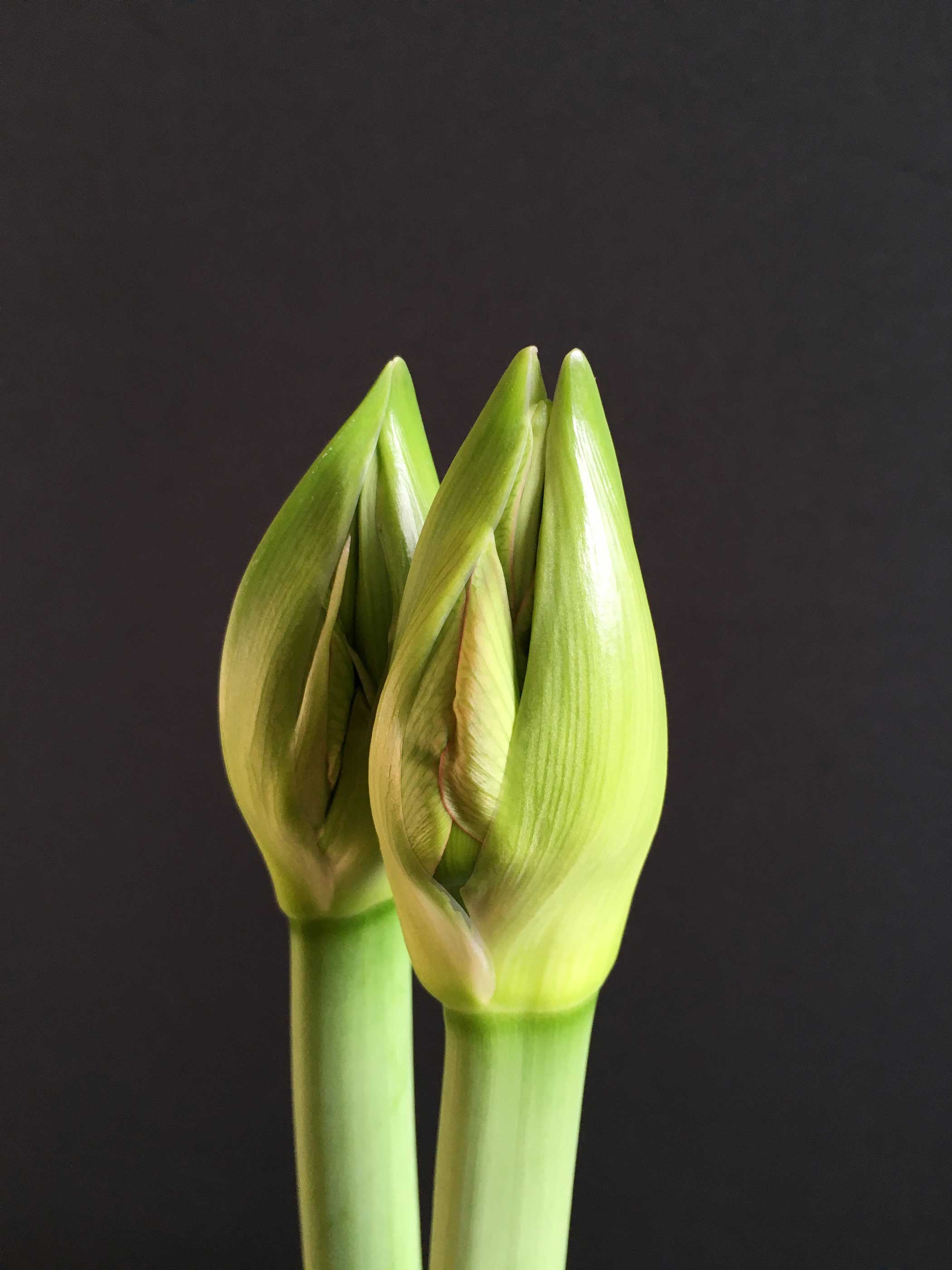Amaryllis: The Beauty of the Bud - Longfield Gardens