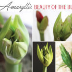 Amaryllis: The Beauty of the Bud