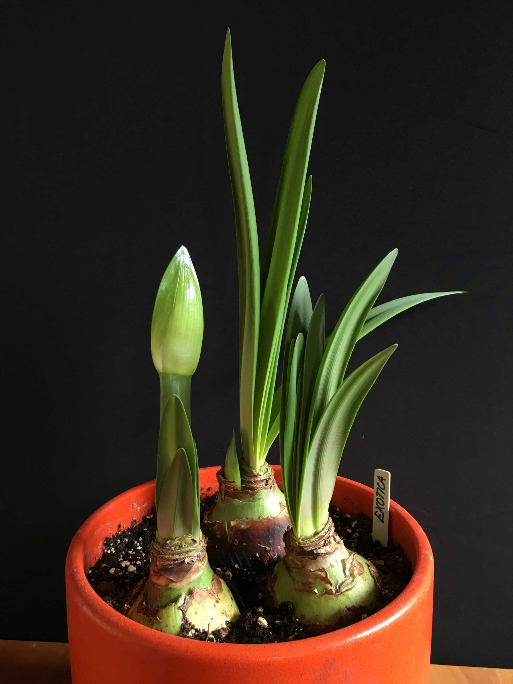 How to Know When Amaryllis Bulbs Will Flower - Longfield Gardens