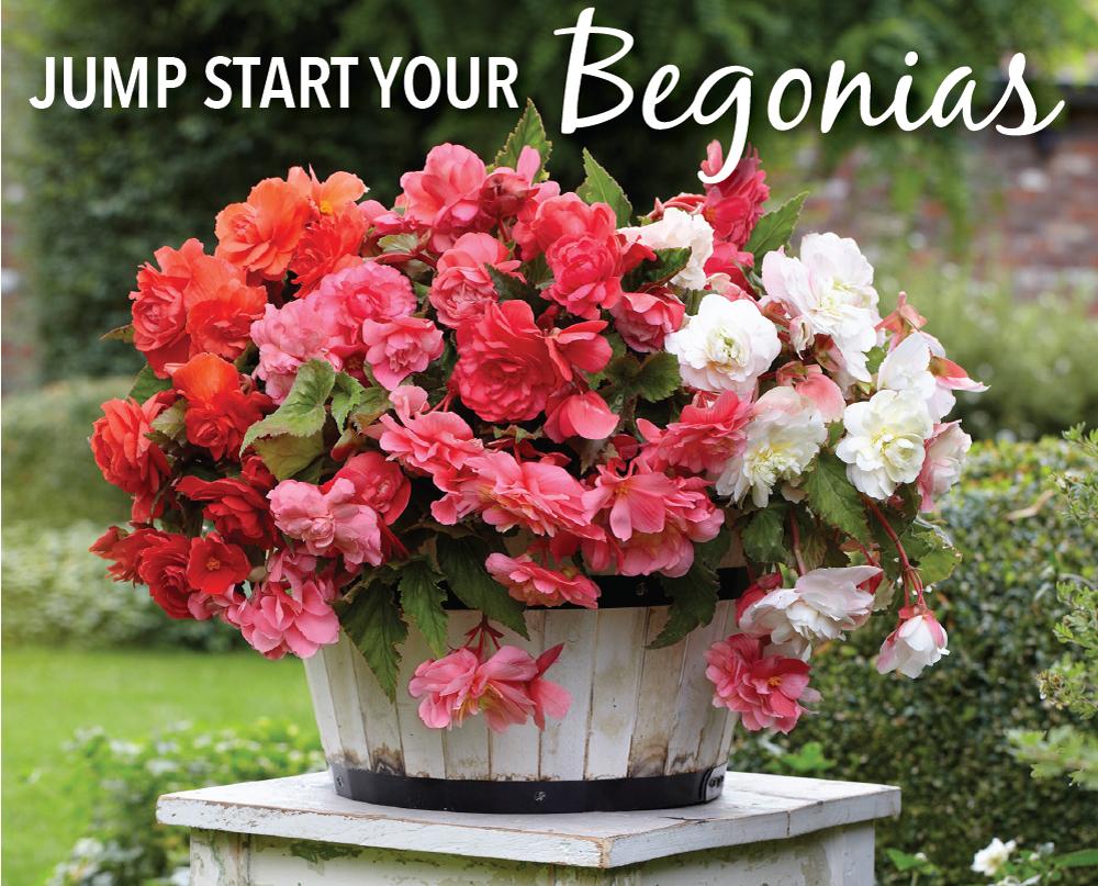 Time to Jump Start Your Tuberous Begonias - Longfield Gardens