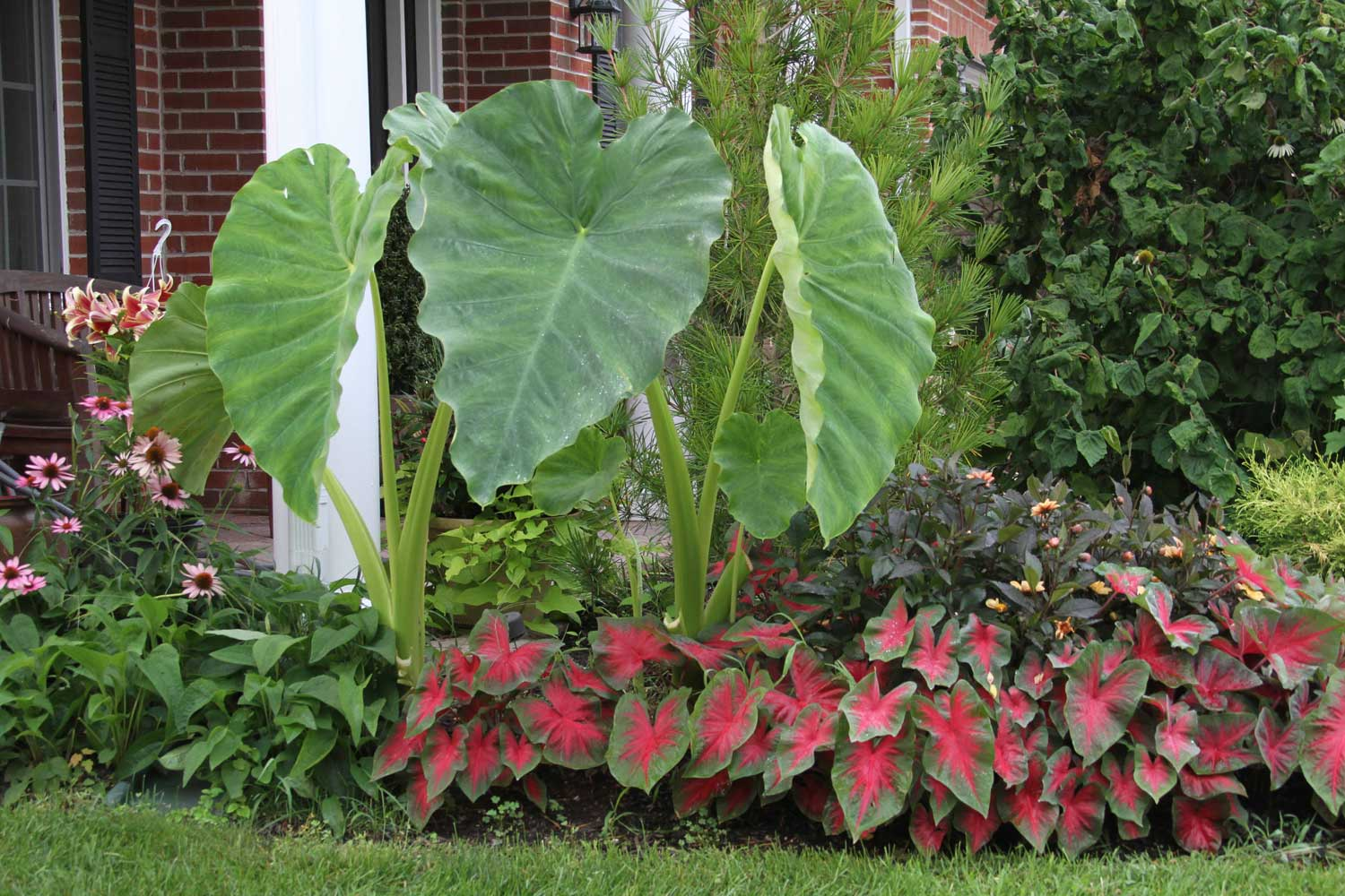 Shake Up Your Garden With Elephant Ears
