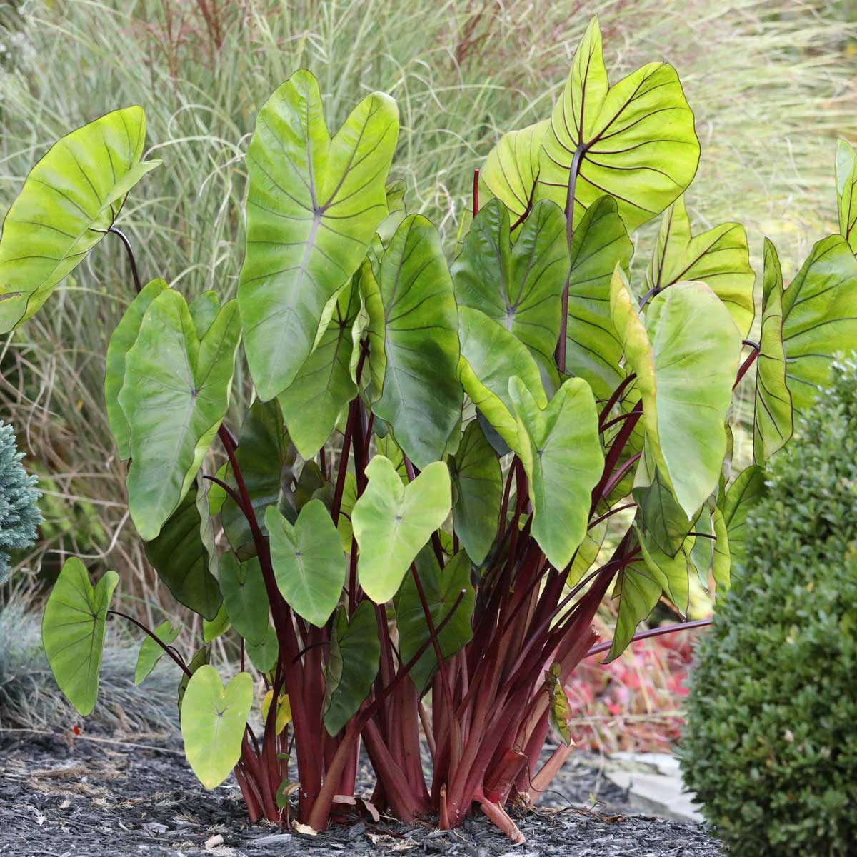 Shake Up Your Garden With Elephant Ears – Longfield-Gardens