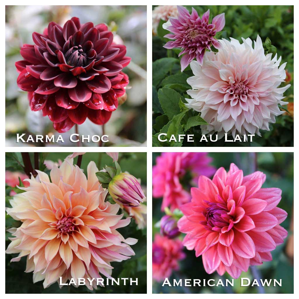 New Dahlias and a Sneak Peek at This Year's Cutting Garden