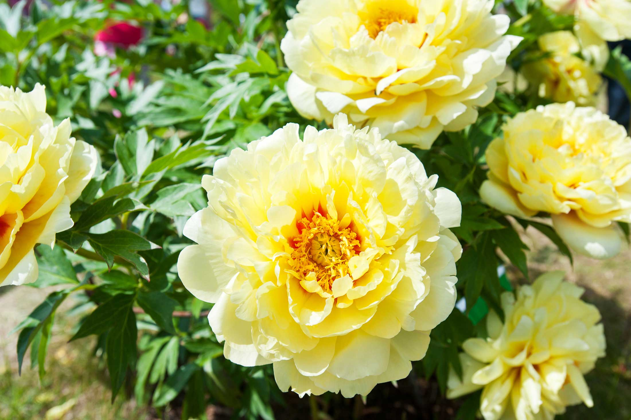 Bartzella The Yellow Peony Longfield Gardens