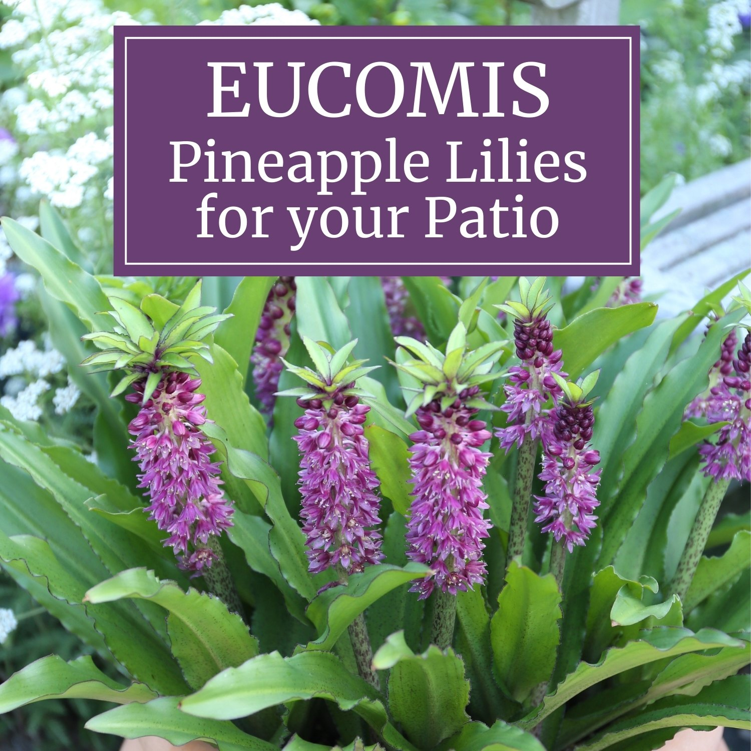 Eucomis Pineapple Lilies for Your Patio - Longfield Gardens