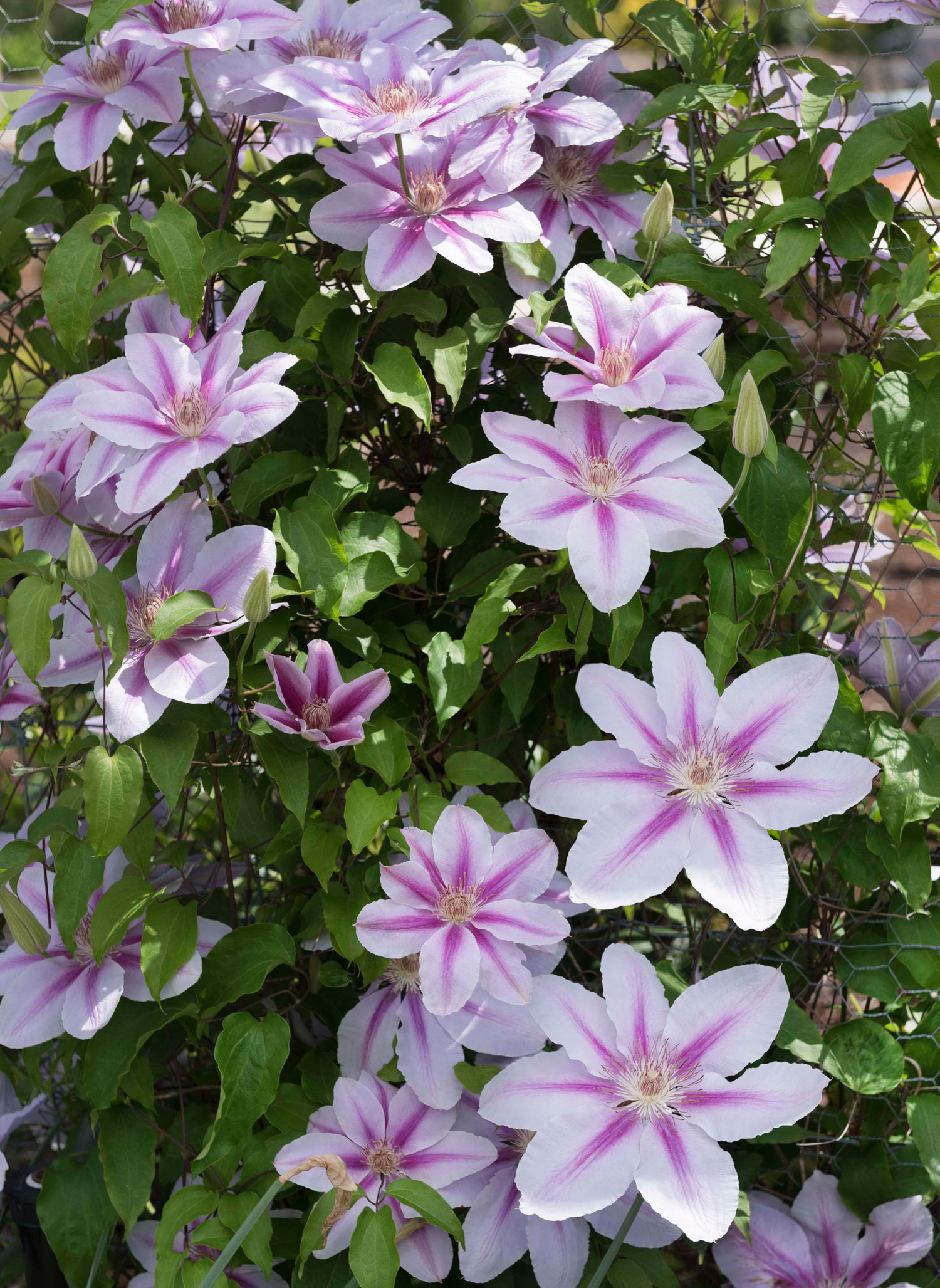 Give Your Garden a Lift with Clematis - Longfield Gardens