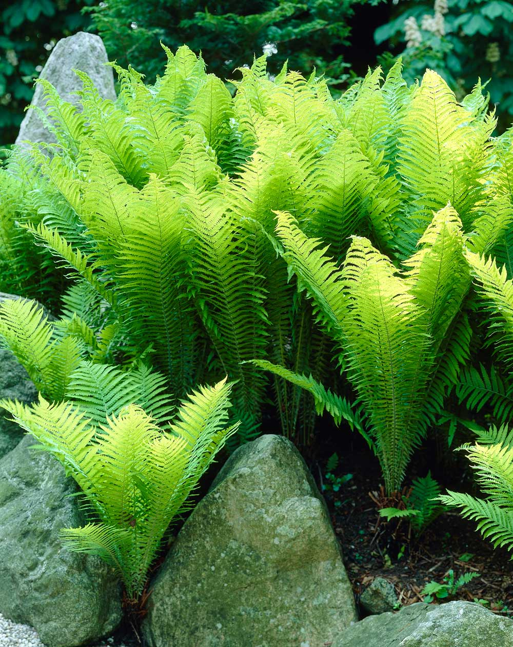 How to use ferns in your garden or landscape longfield gardens - Plants that dont need soil natures wonders ...