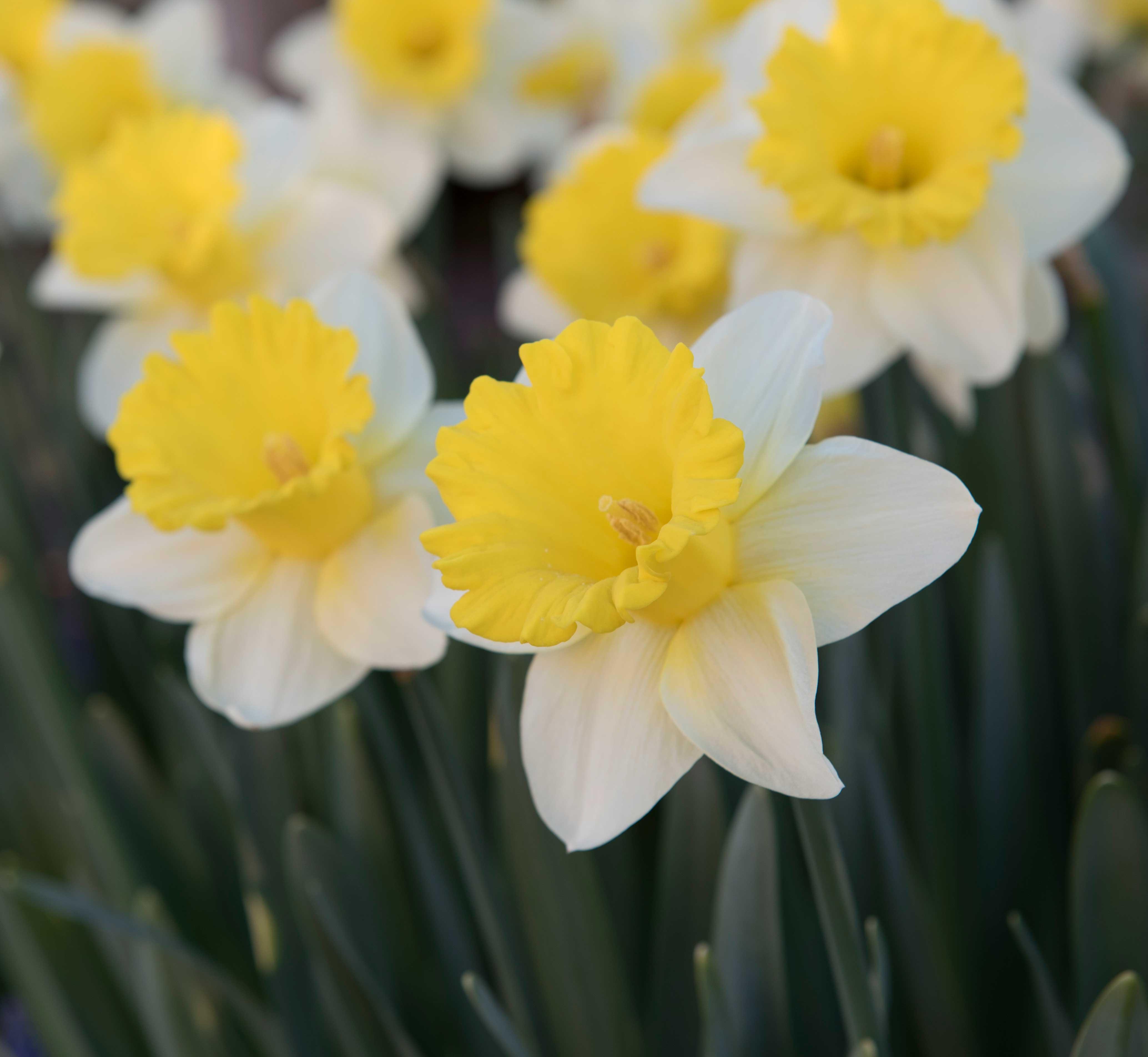 Daffodil-Goblet—Longfield-Gardens