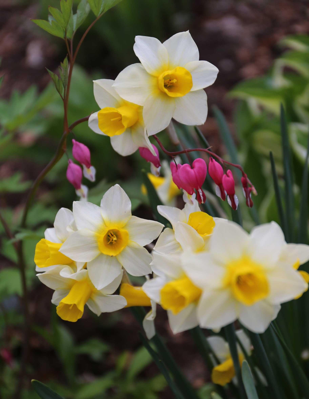 Daffodil-Golden-Echo - Longfield Gardens