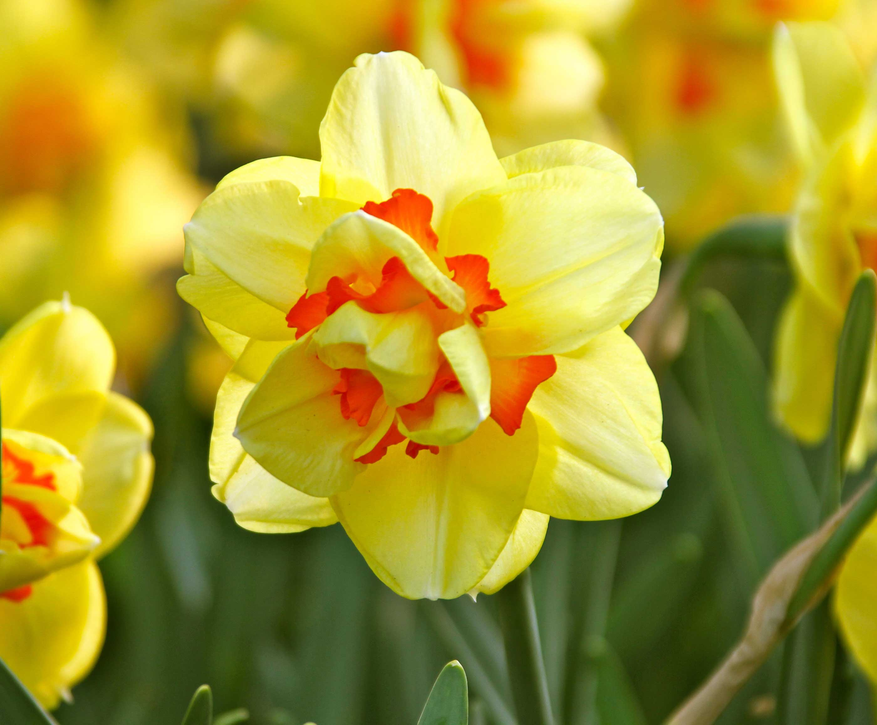 Daffodil-Tahiti—Longfield-Gardens