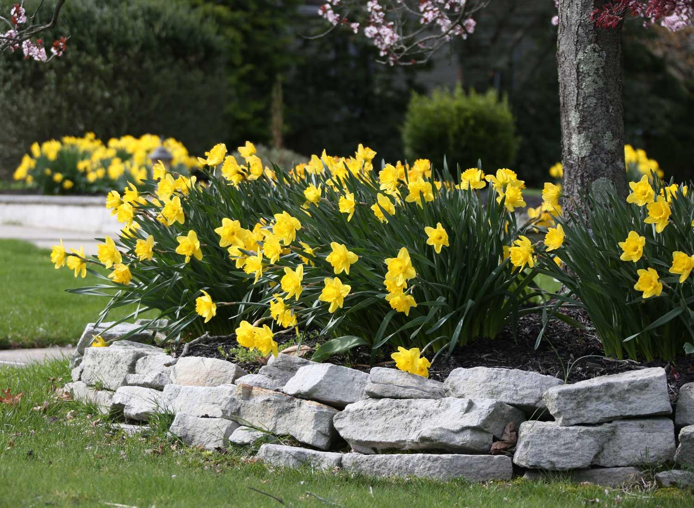 Yellow Trumpet Daffodils—Longfield-Gardens