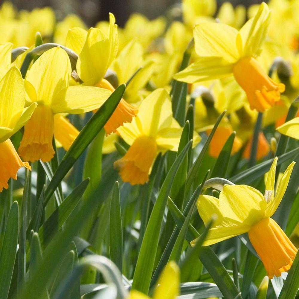 Daffodil Jetfire - Longfield Gardens