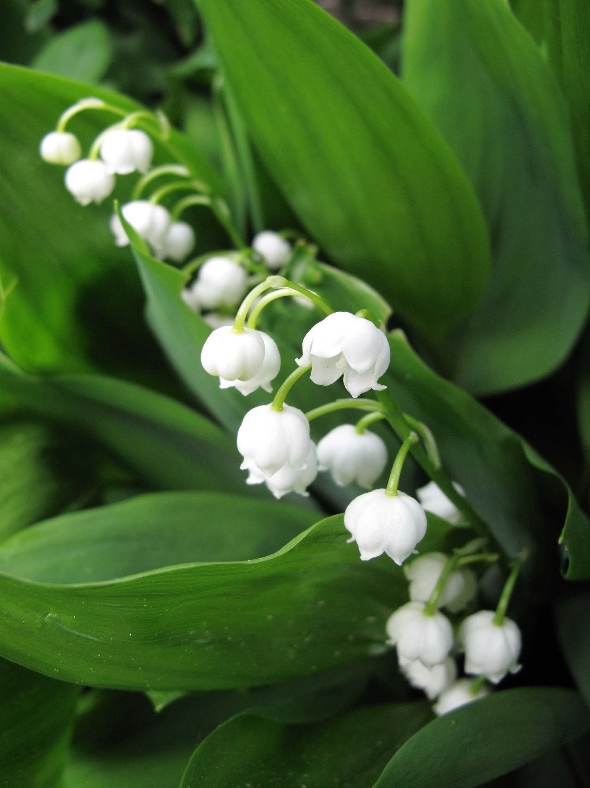 Growing lily of the valley tips and tales longfield gardens growing lily of the valley longfield gardens izmirmasajfo