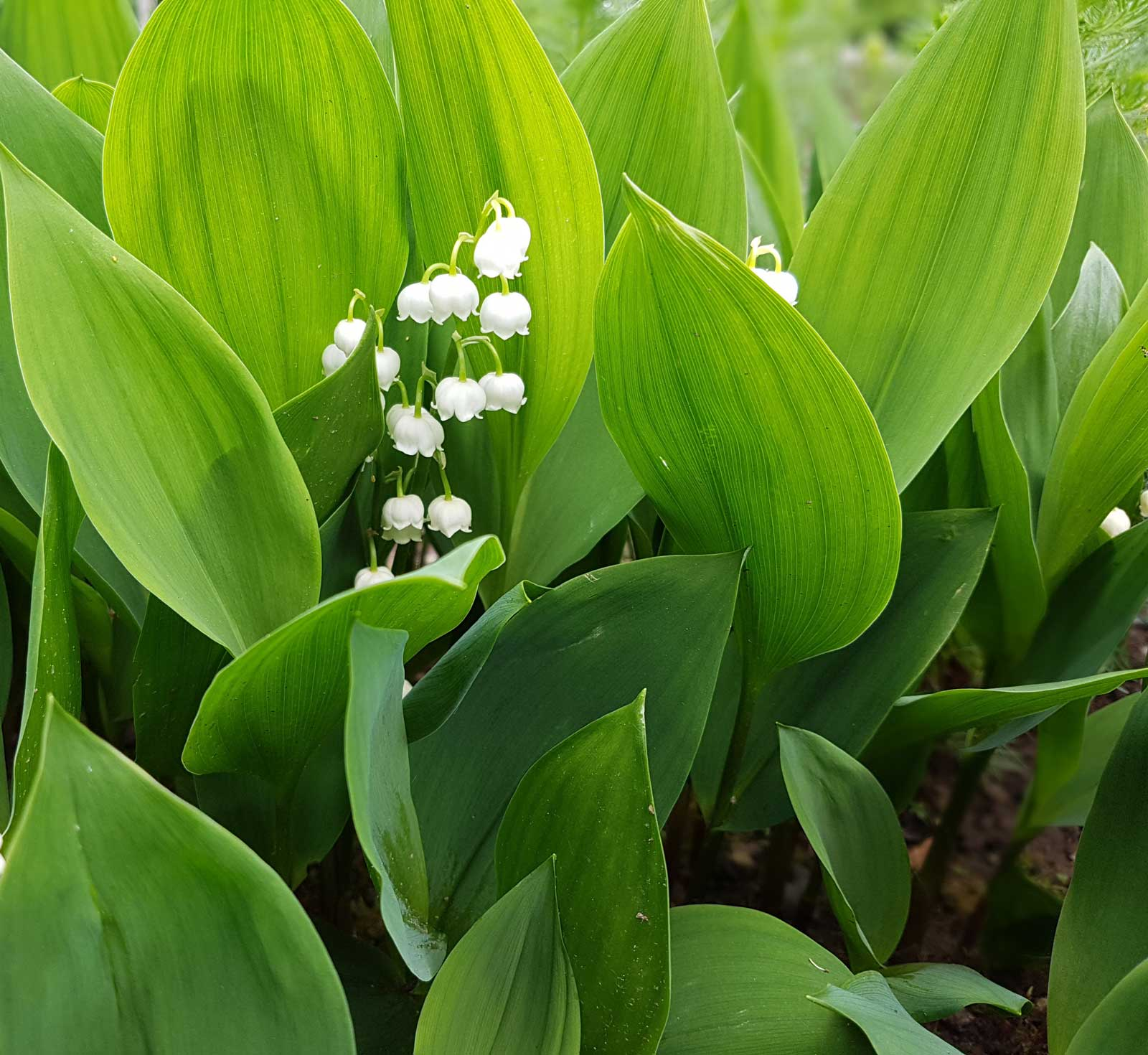 Growing Lily Of The Valley Tips And Tales Longfield Gardens