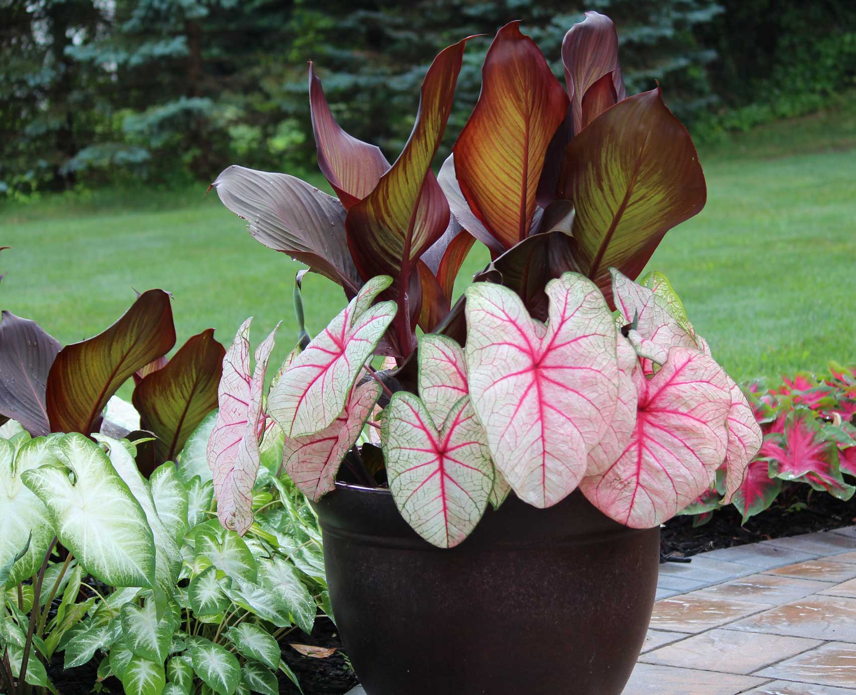 Landscaping Made Easy With Caladiums —Longfield-Gardens