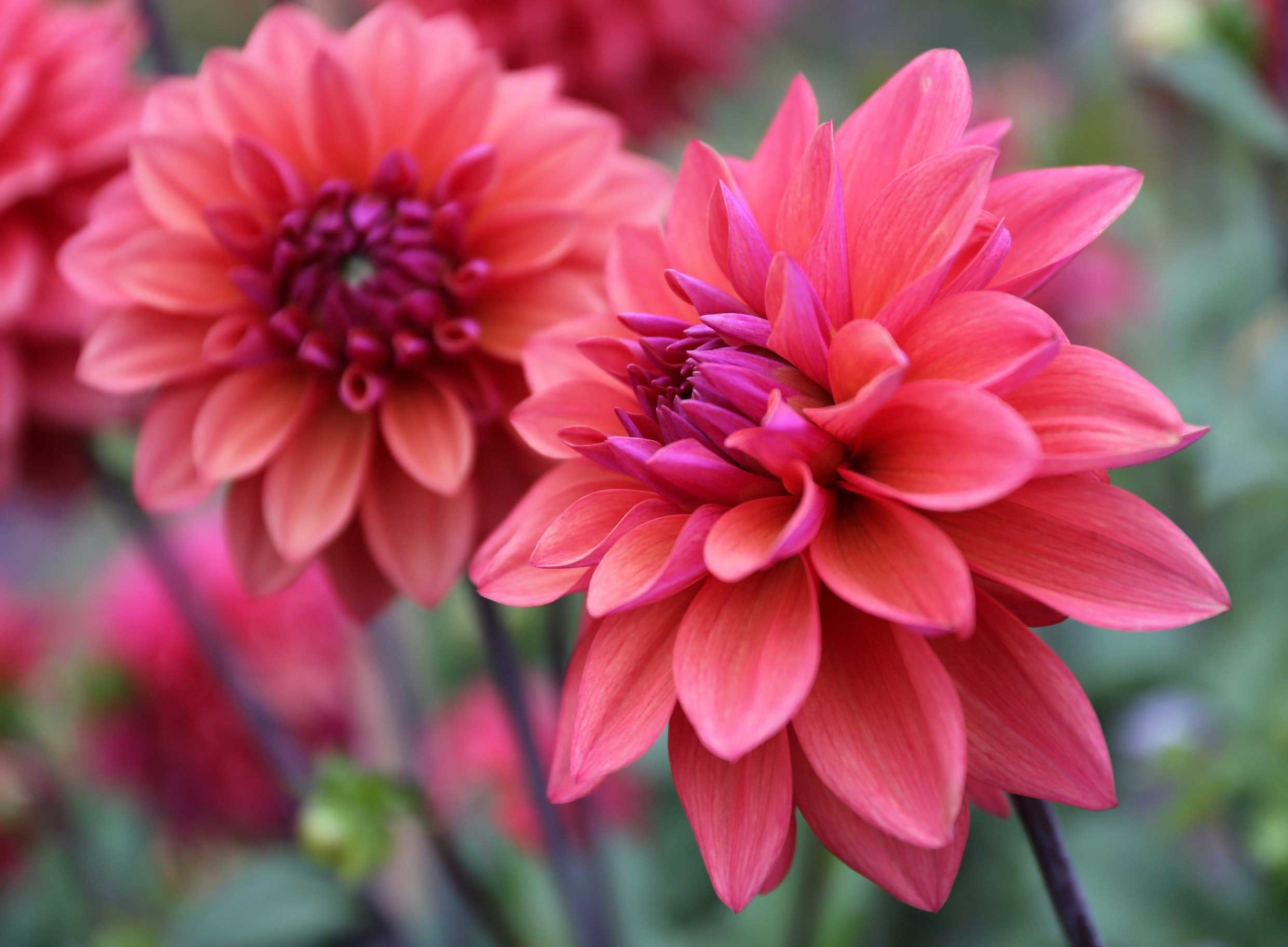 8 Tips for Growing Better Dahlias - Longfield-Gardens