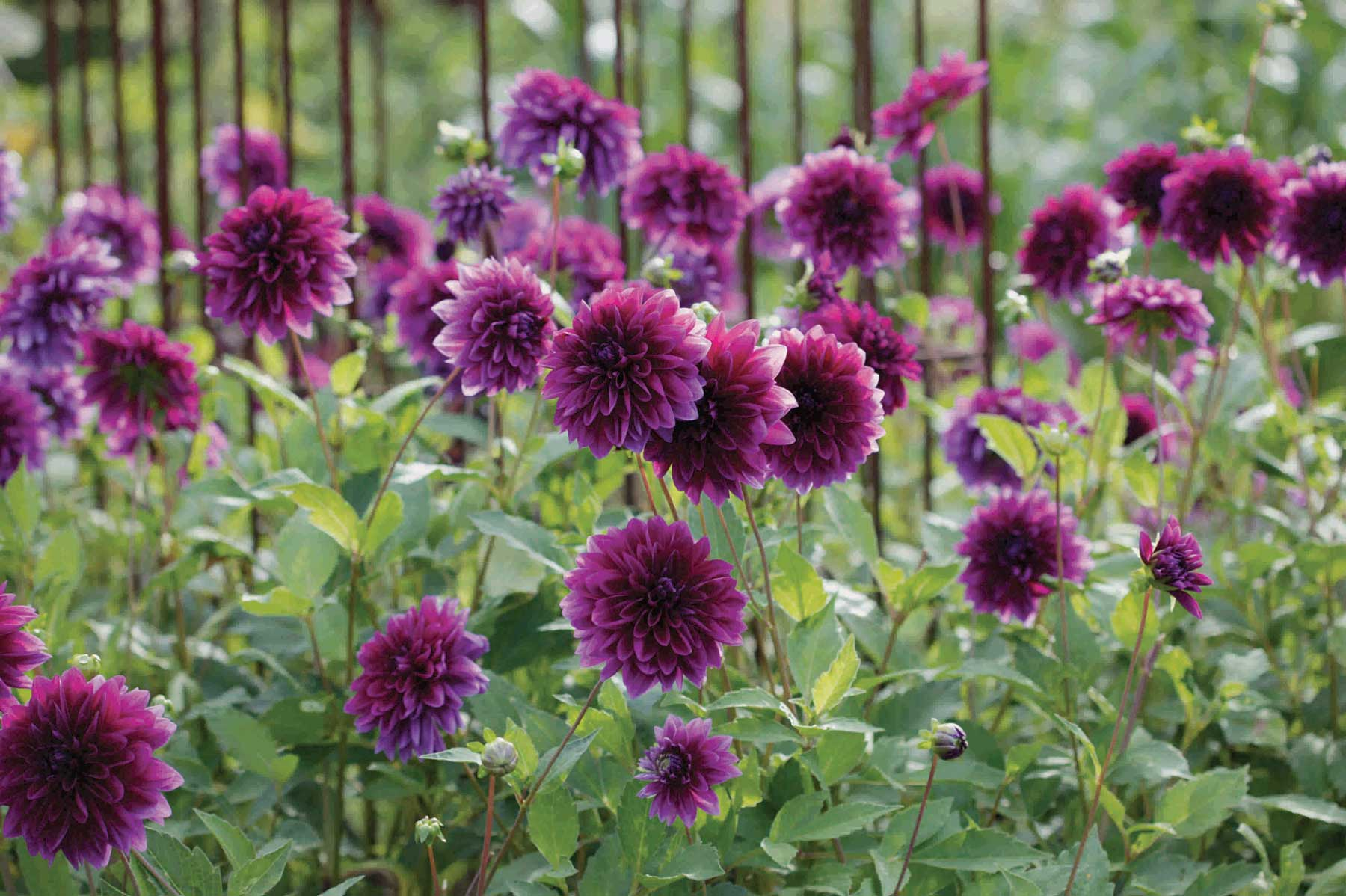 8 Tips For Growing Better Dahlias Longfield Gardens