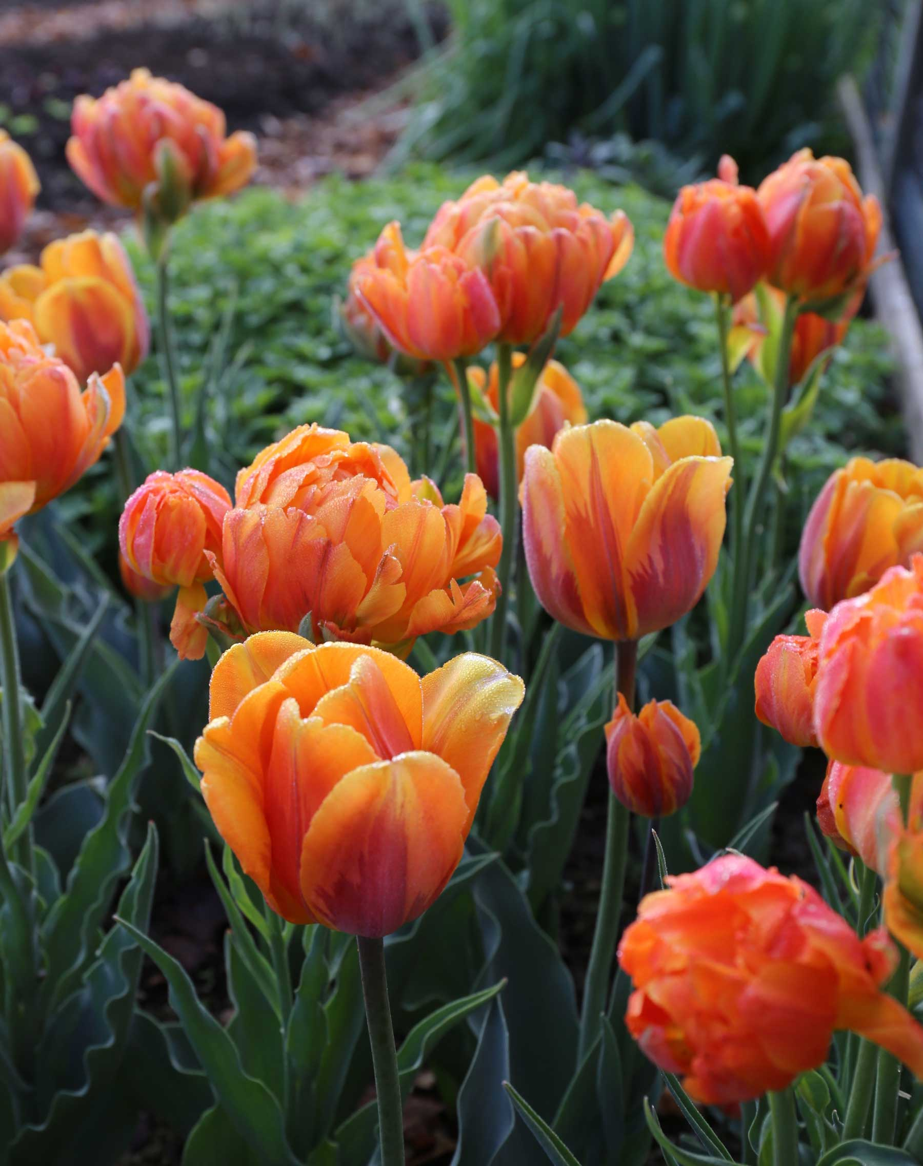 How Was Your Spring Bulb Garden - Longfield Gardens