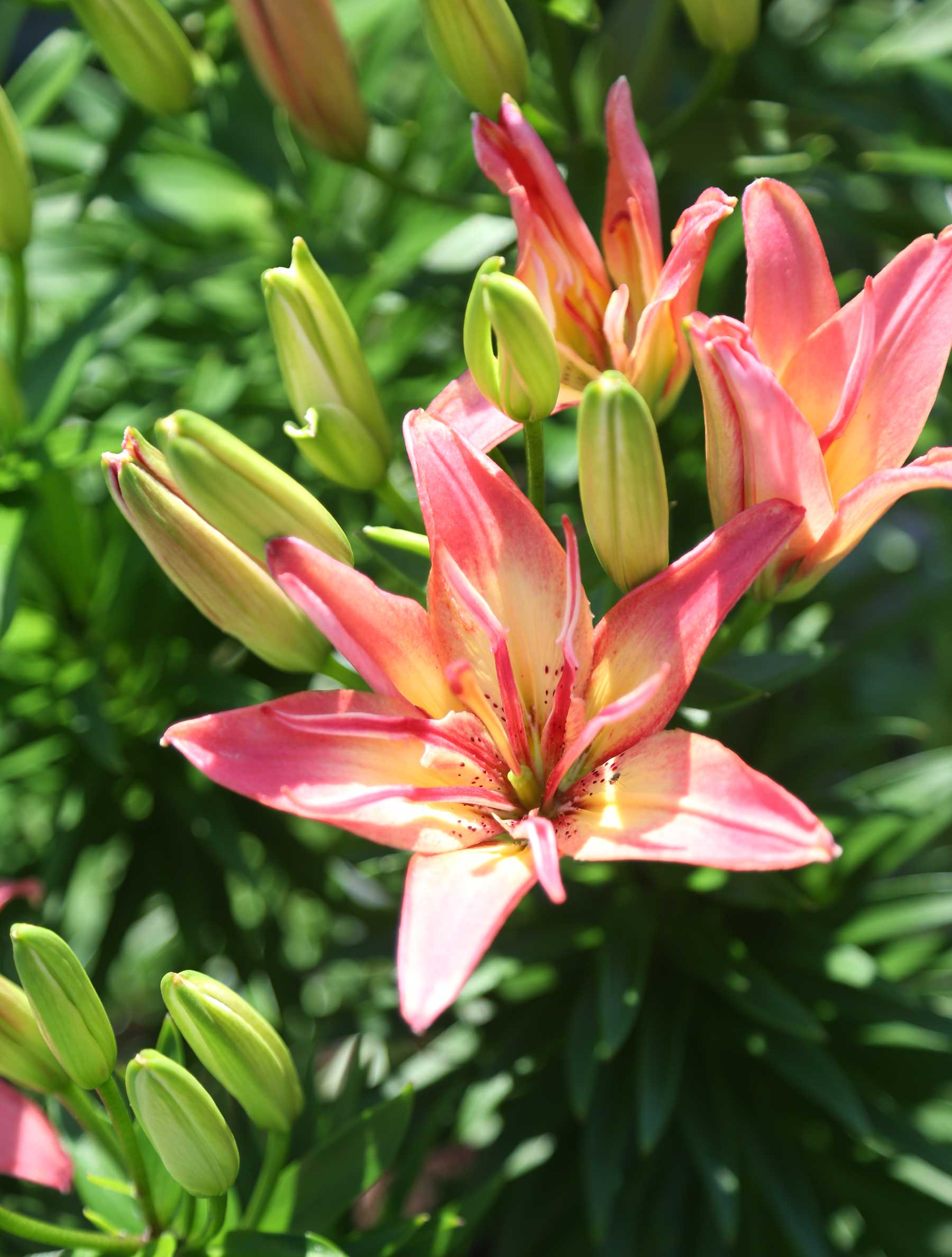 8 tips for growing better lilies longfield gardens 8 tips for growing better lilieslongfield gardens izmirmasajfo