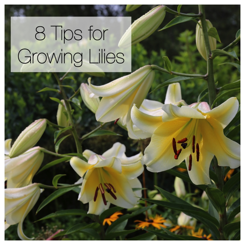 8 Tips for Growing Better Lilies
