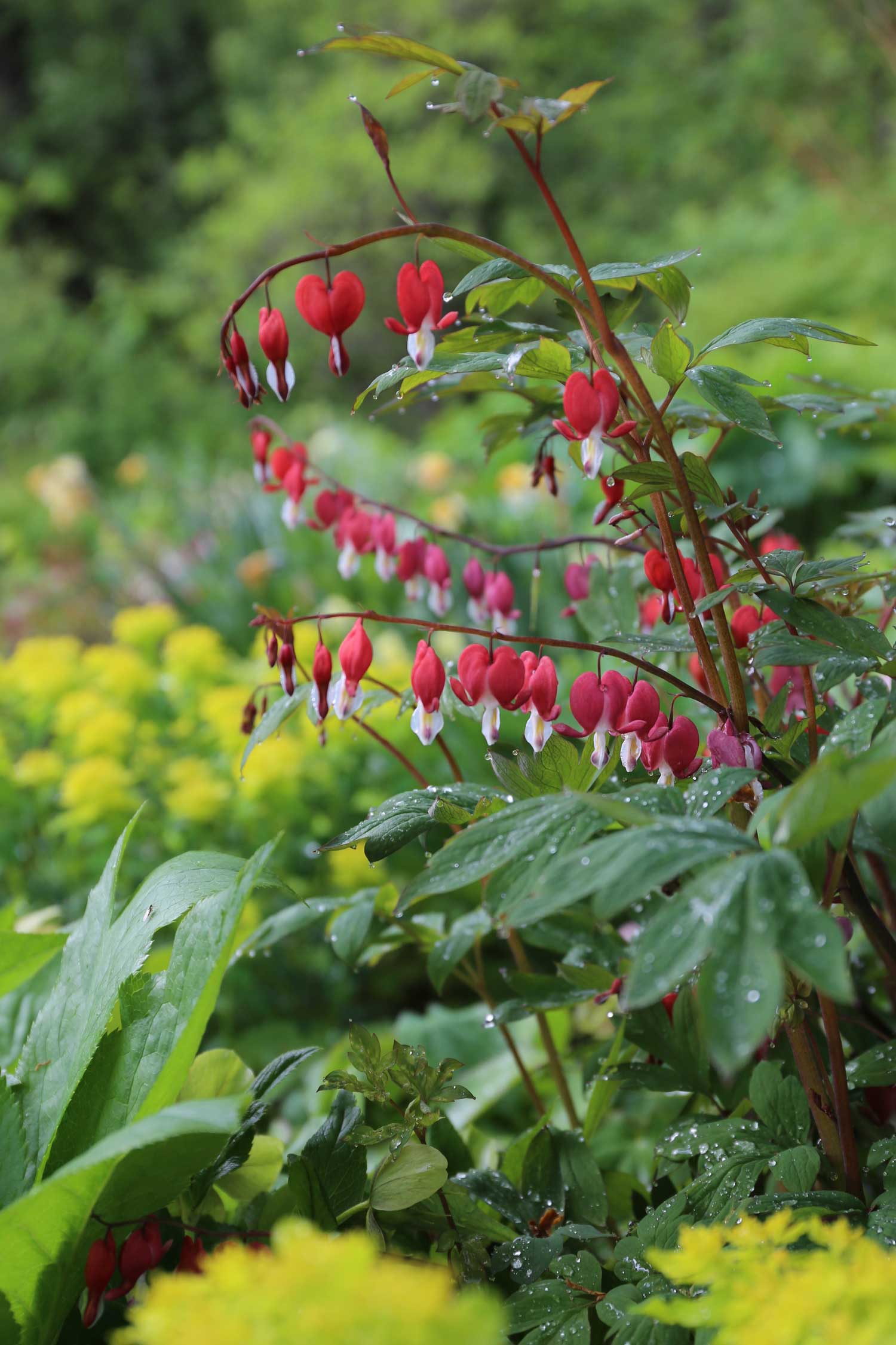 dicentra-best-companion-plants-for-hostas - Longfield Gardens