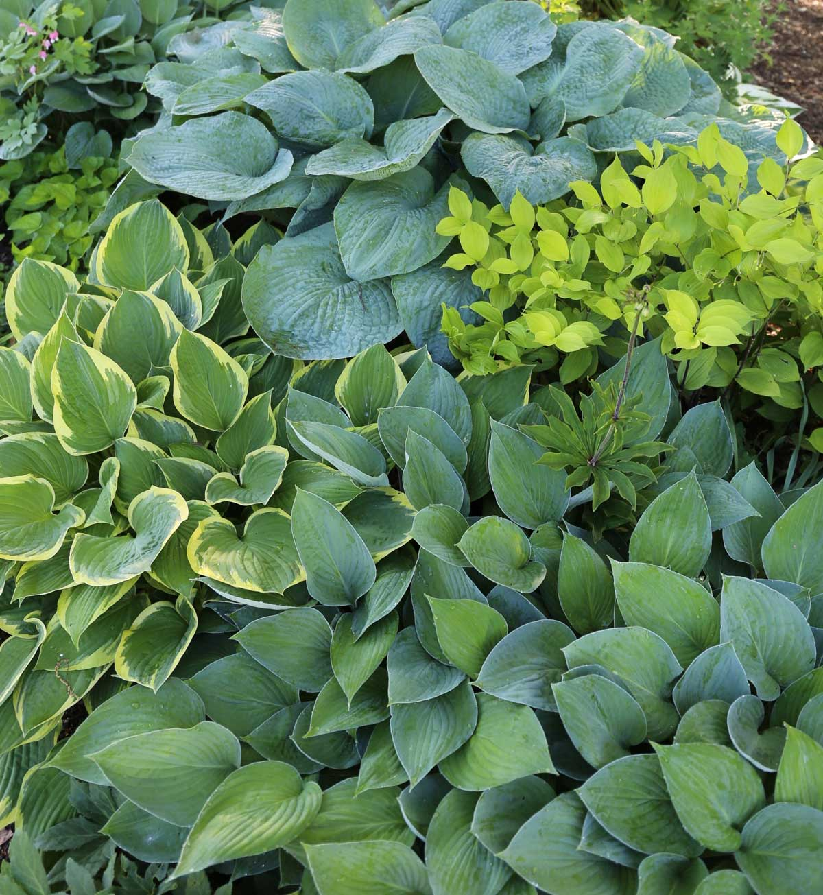 Best Companion Plants for Hostas - Longfield Gardens
