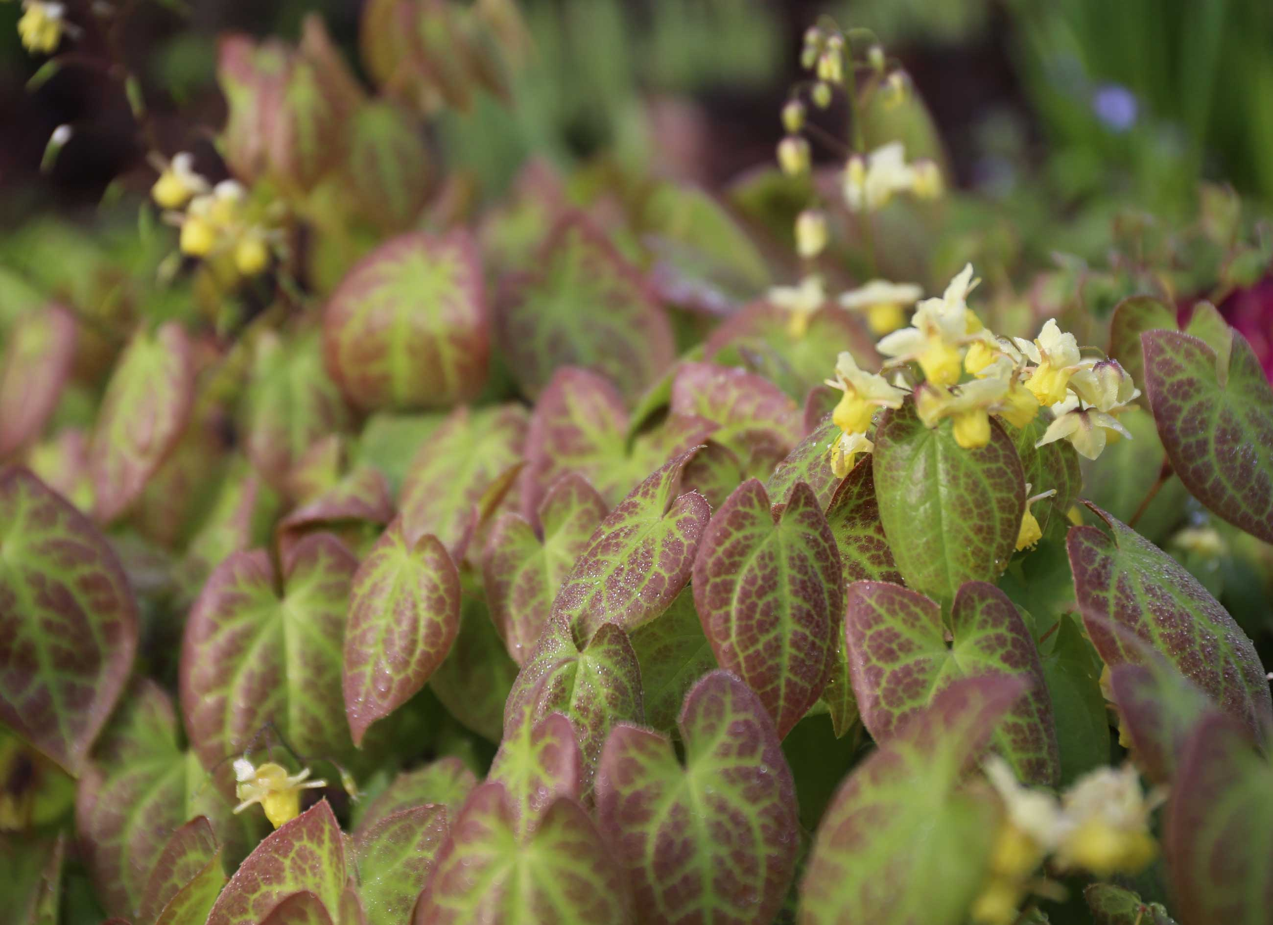 epimedium-best-companion-plants-for-hostas—Longfield-Gardens