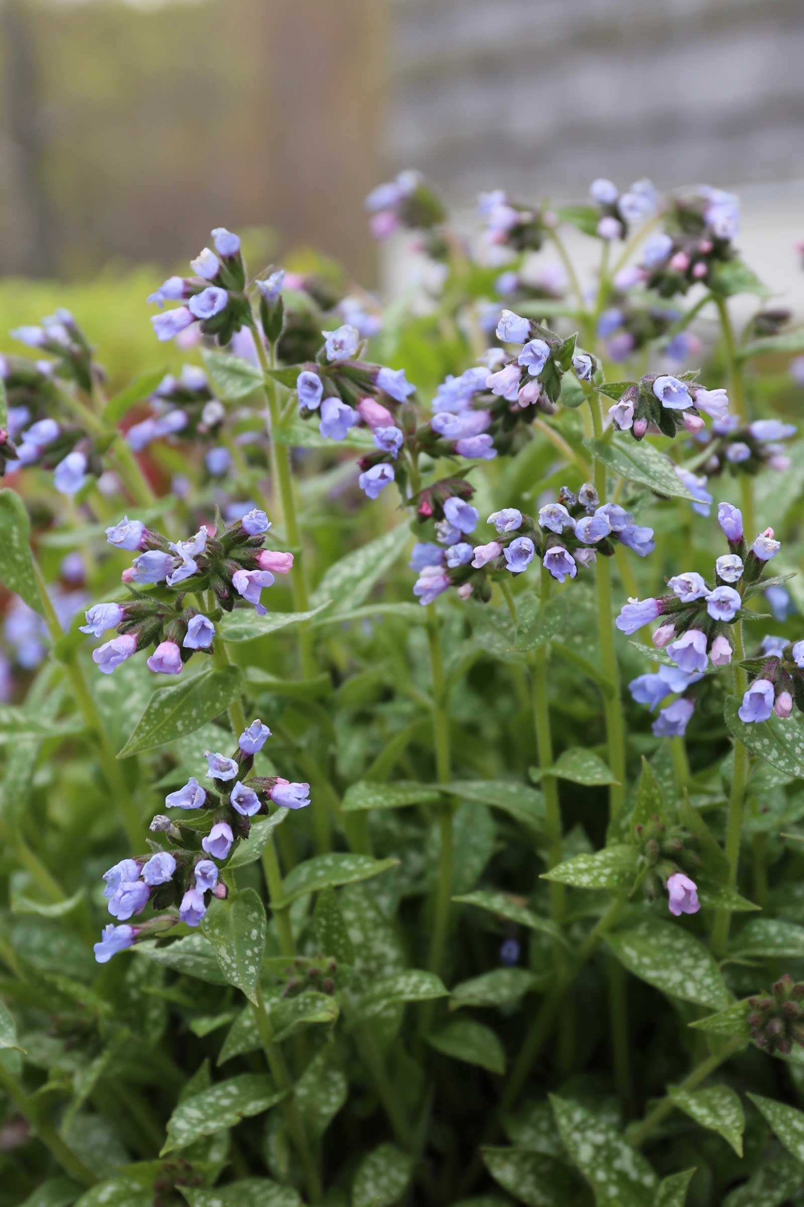Pulmonaria-Best-Companion-Plants-for-Hostas—Longfield-Gardens