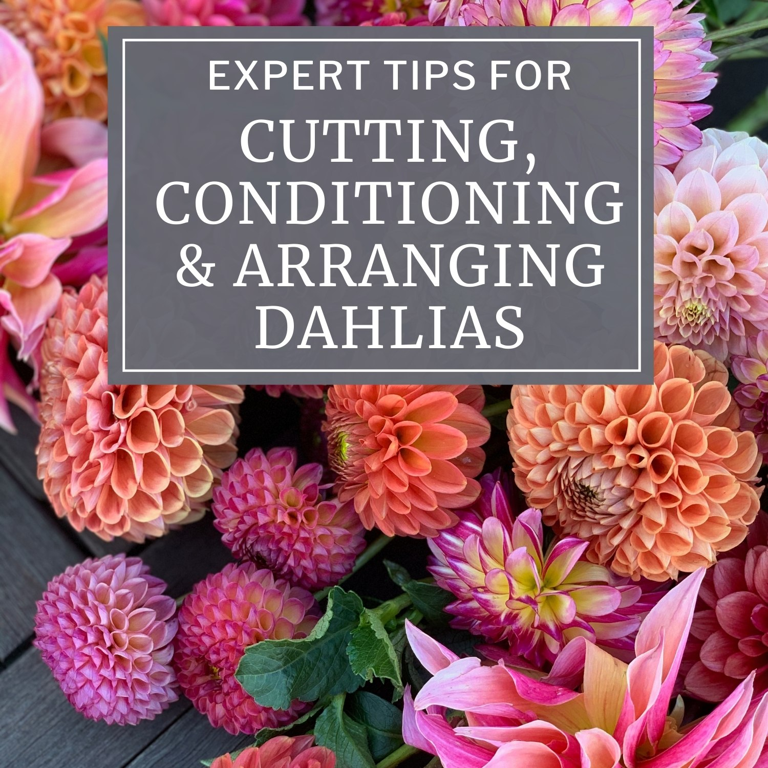 Expert Tips for Cutting, Conditioning and Arranging Dahlias - Longfield Gardens