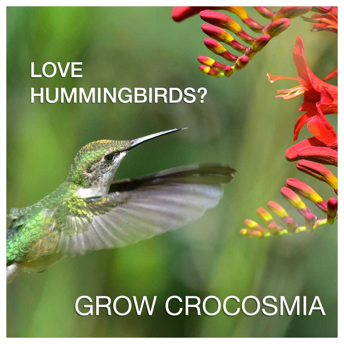 Love Hummingbirds? Grow Some Crocosmia!